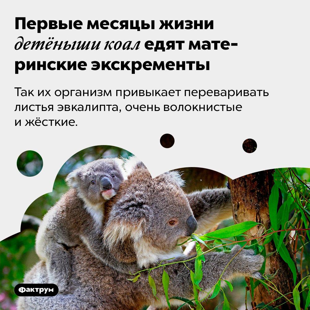 Первые месяцы жизни детёныши коал едят материнские экскременты. Так их организм привыкает переваривать листья эвкалипта, очень волокнистые и жёсткие.