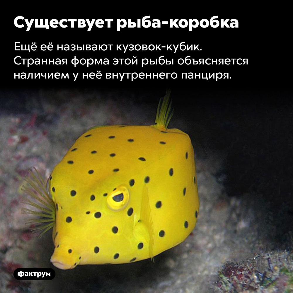 Существует рыба-коробка. Ещё её называют кузовок-кубик. Странная форма этой рыбы объясняется наличием у неё внутреннего панциря.