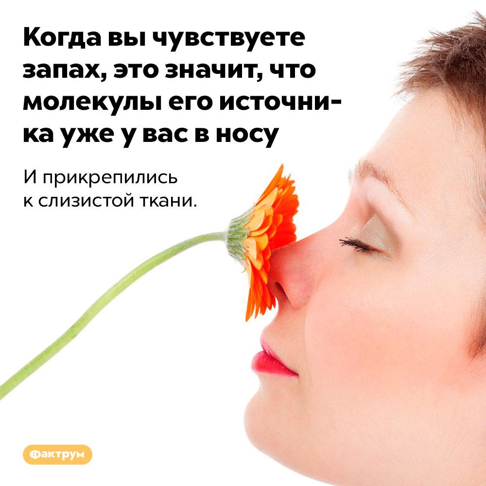 Когда вы чувствуете запах, это значит, что молекулы его источника уже у вас в носу. И прикрепились к слизистой ткани.