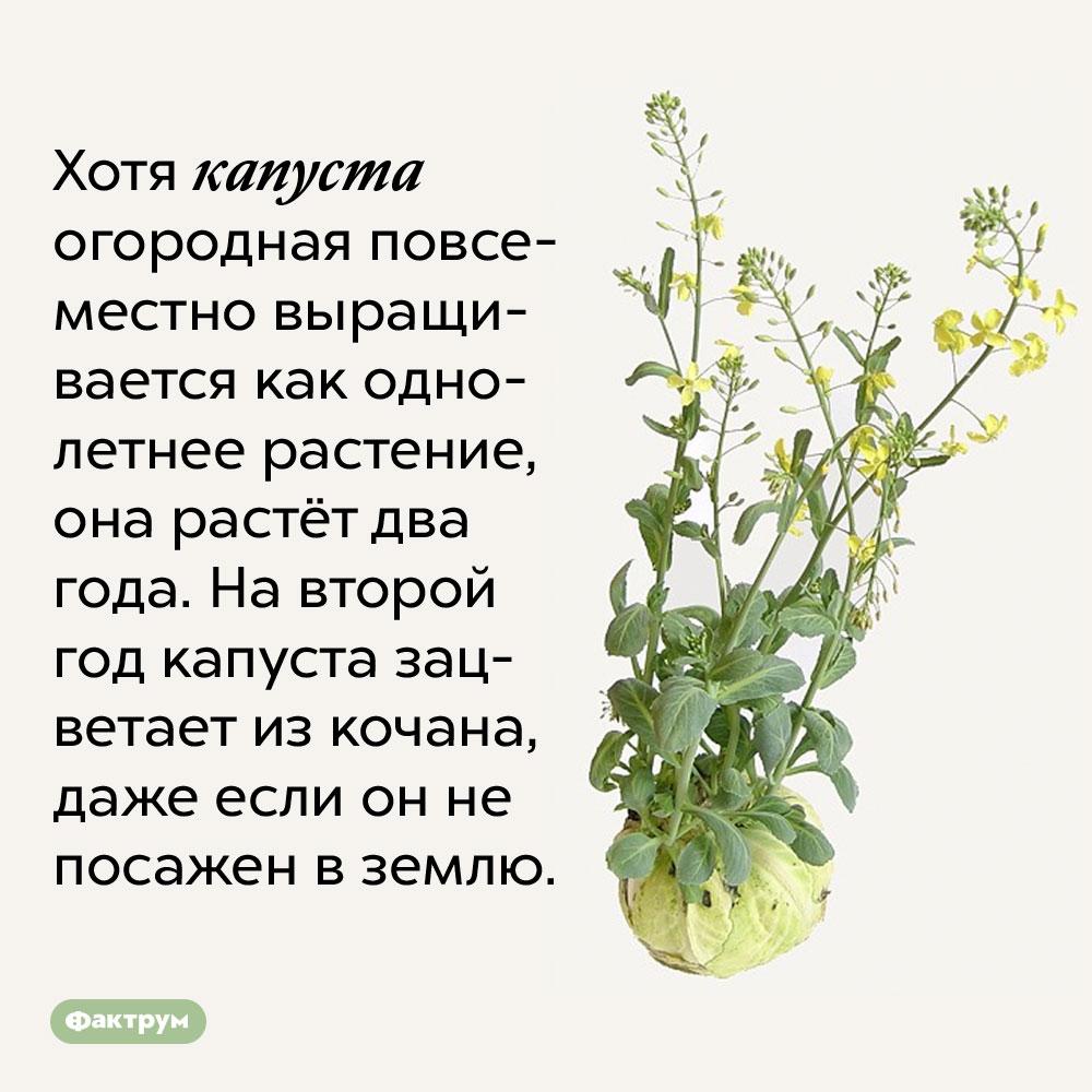 Хотя капуста огородная повсеместно выращивается как однолетнее растение, она растёт два года. На второй год капуста зацветает из кочана, даже если он не посажен в землю.