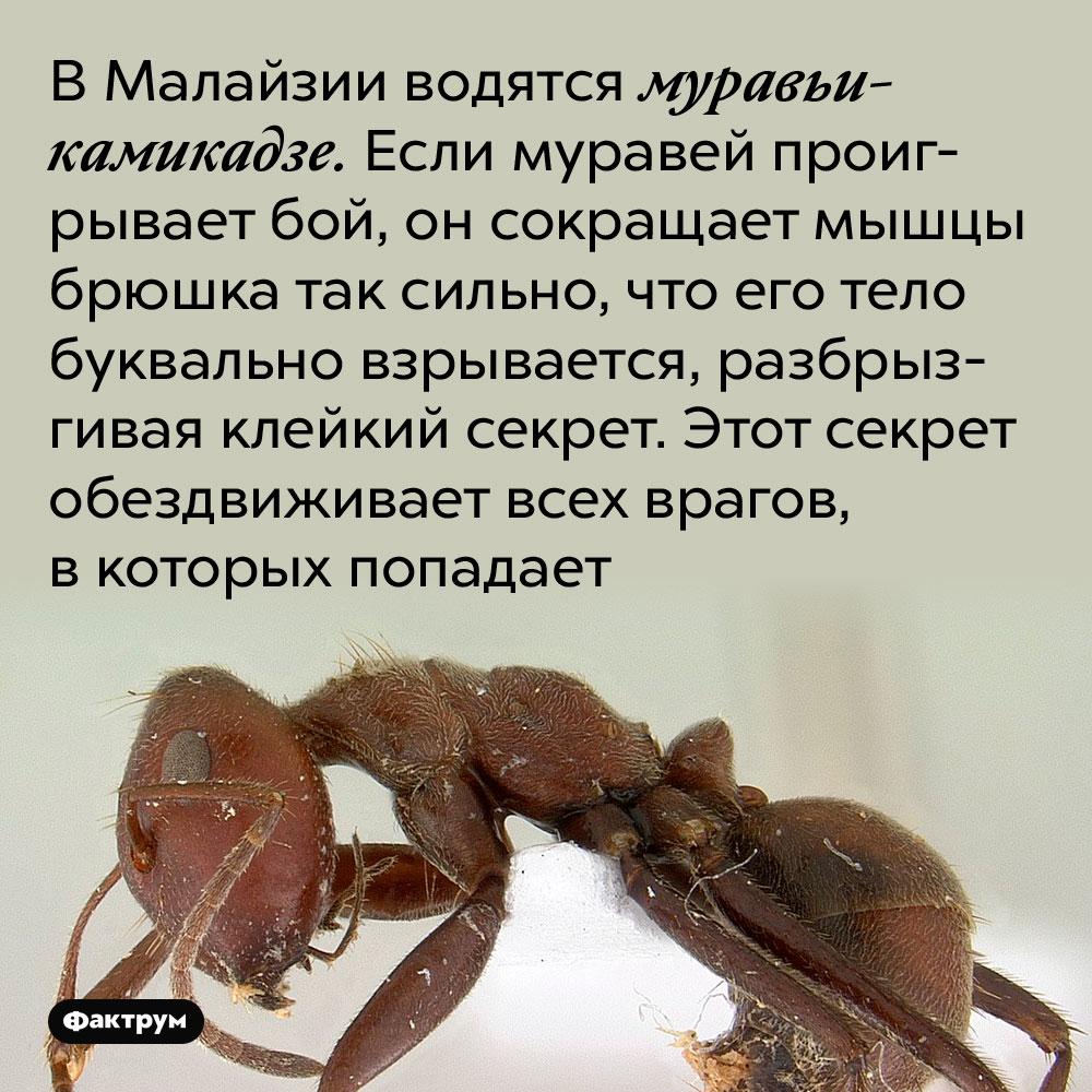 В Малайзии водятся муравьи-камикадзе. Если муравей проигрывает бой, он сокращает мышцы брюшка так сильно, что его тело буквально взрывается, разбрызгивая клейкий секрет. Этот секрет обездвиживает всех врагов, в которых попадает.