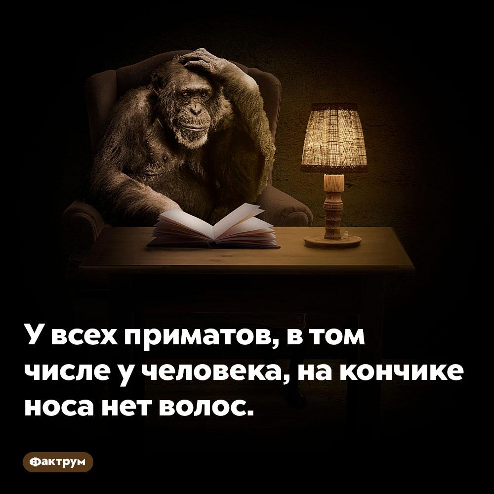 У всех приматов, в том числе у человека, на кончике носа нет волос.