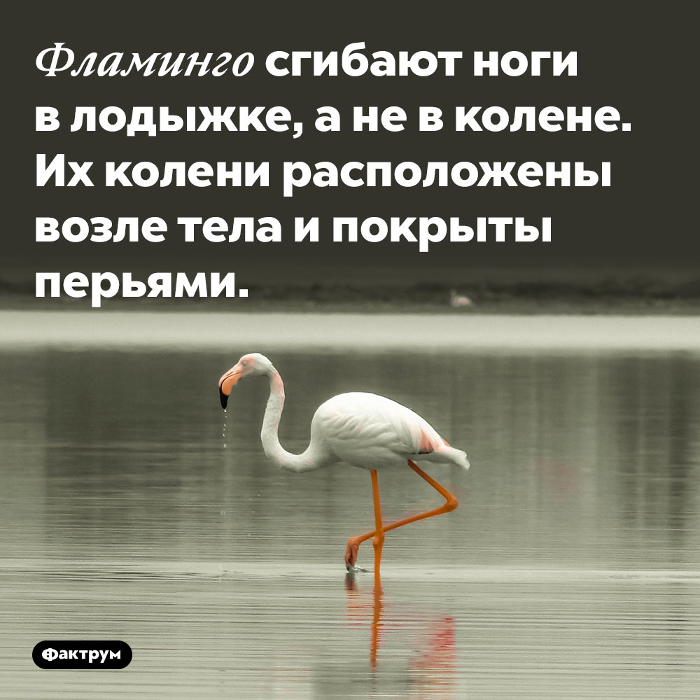 Фламинго сгибают ноги в лодыжке, а не в колене. Их колени расположены возле тела и покрыты перьями.