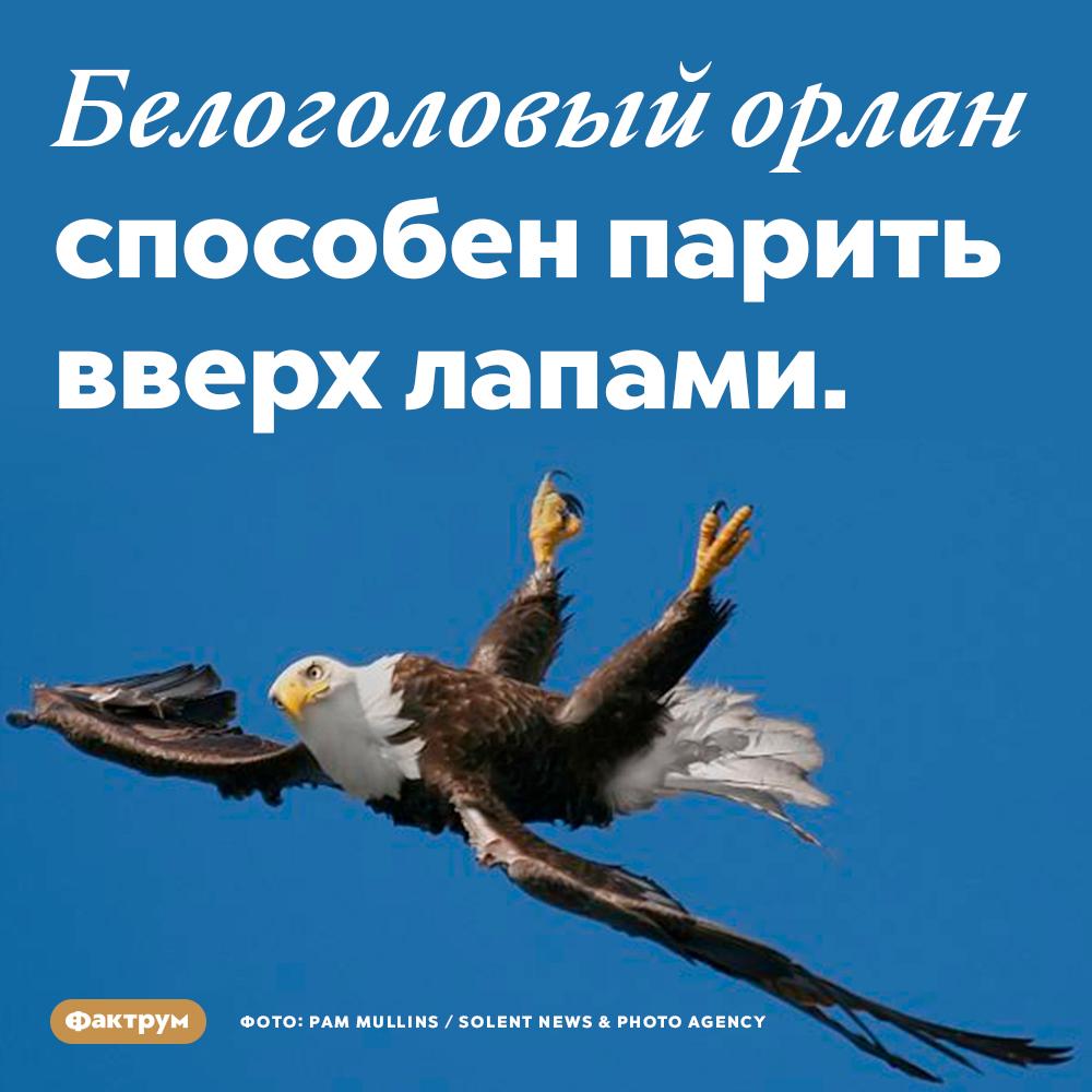 Белоголовый орлан способен парить вверх лапами. Эта птица буквально «купается» в воздухе.
