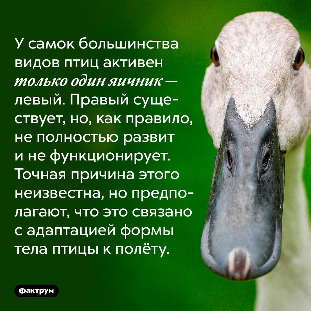 У самок большинства видов птиц активен только один яичник — левый. Правый существует, но, как правило, не полностью развит и не функционирует. Точная причина этого неизвестна, но предполагают, что это связано с адаптацией формы тела птицы к полёту.
