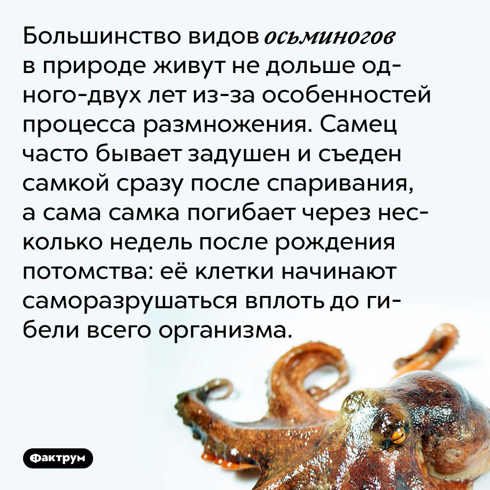Большинство видов осьминогов в природе живут не дольше одного-двух лет из-за особенностей процесса размножения. Самец часто бывает задушен и съеден самкой сразу после спаривания, а сама самка погибает через несколько недель после рождения потомства: её клетки начинают саморазрушаться вплоть до гибели всего организма.