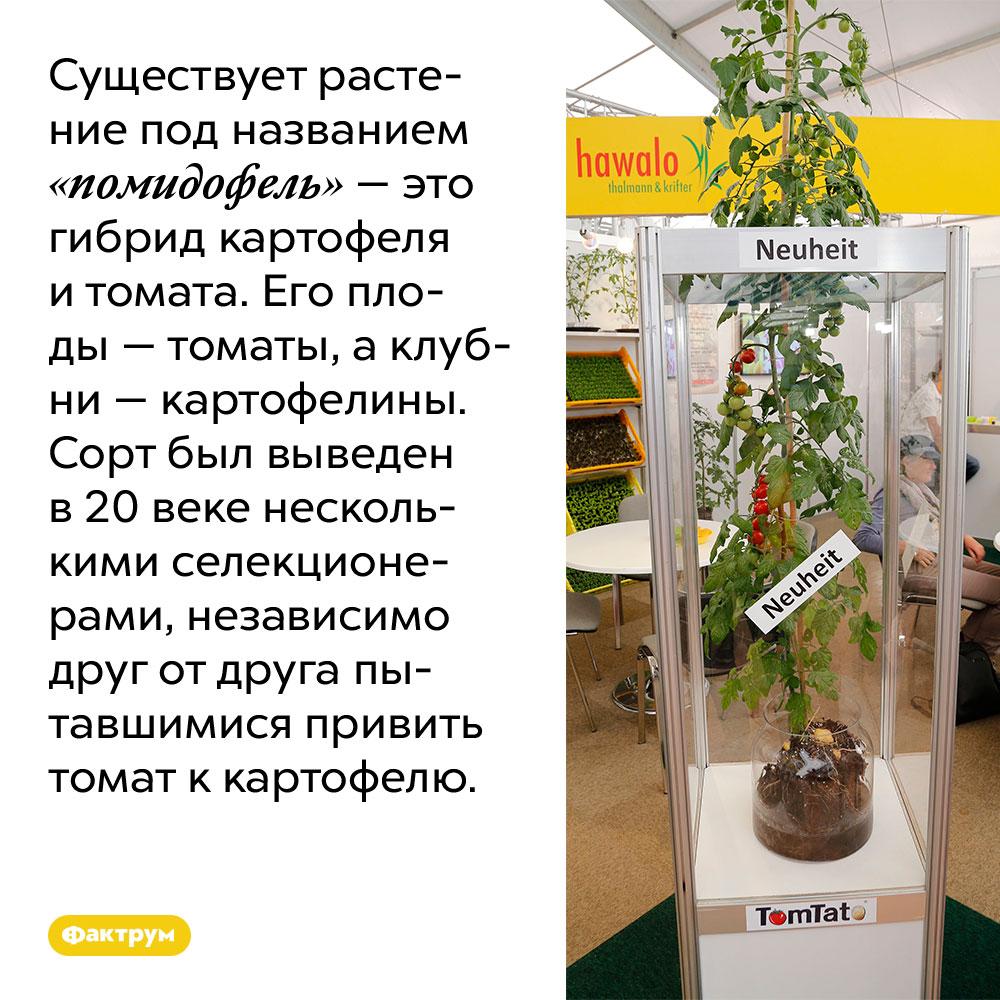 Существует растение под названием «помидофель» — это гибрид картофеля итомата. Его плоды — томаты, а клубни — картофелины. Сорт был выведен в 20 веке несколькими селекционерами, независимо друг от друга пытавшимися привить томат к картофелю.