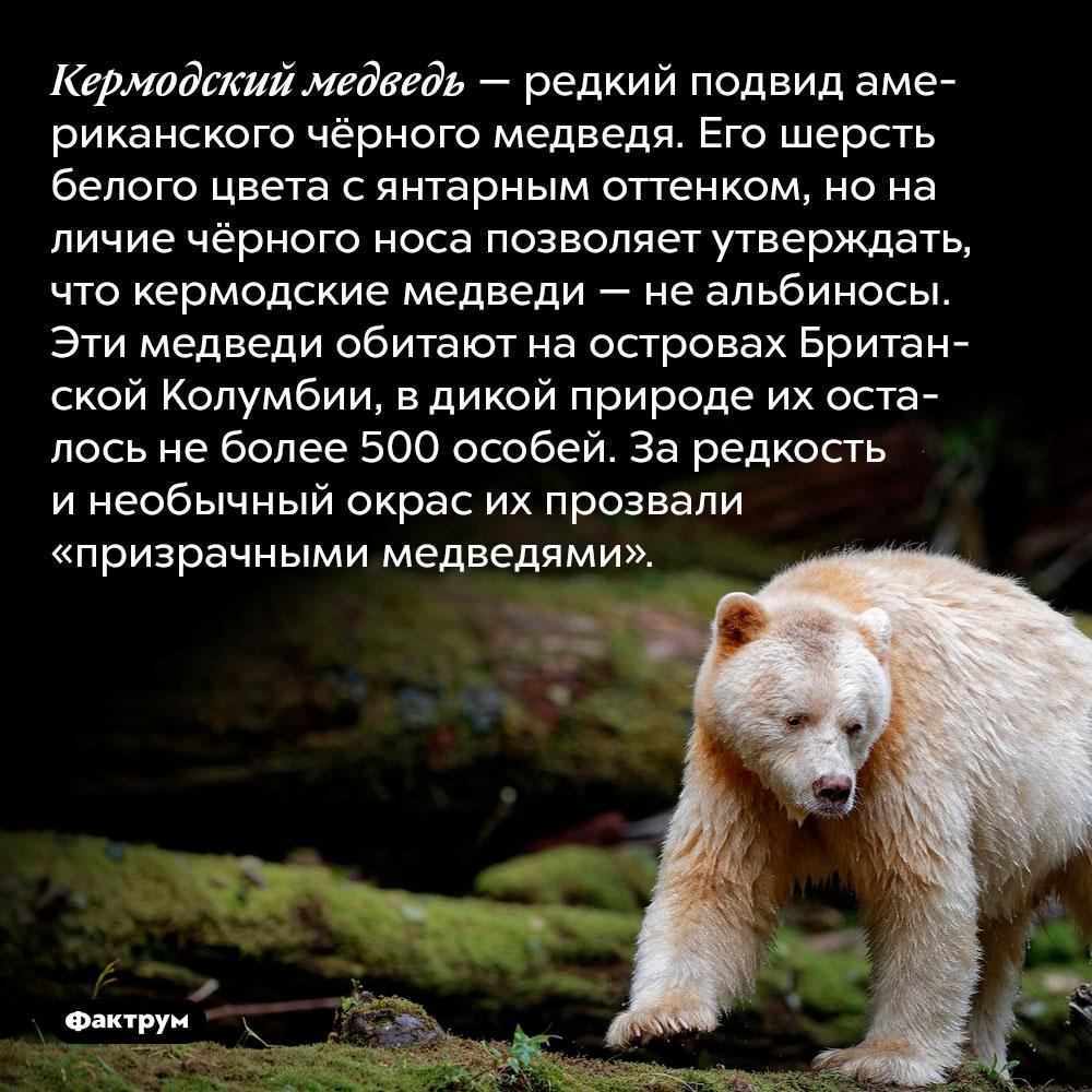 Кермодский медведь — редкий подвид американского чёрного медведя. Его шерсть белого цвета с янтарным оттенком, но наличие чёрного носа позволяет утверждать, что кермодские медведи — не альбиносы. Эти медведи обитают на островах Британской Колумбии, в дикой природе их осталось не более 500 особей. За редкость и необычный окрас их прозвали «призрачными медведями».