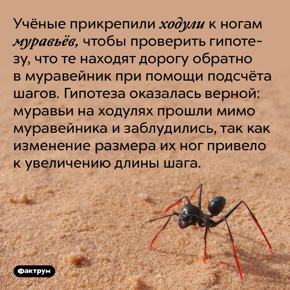 Учёные прикрепили ходули к ногам муравьёв, чтобы проверить гипотезу, что те находят дорогу обратно в муравейник при помощи подсчёта шагов. Гипотеза оказалась верной: муравьи на ходулях прошли мимо муравейника и заблудились, так как изменение размера их ног привело к увеличению длины шага.