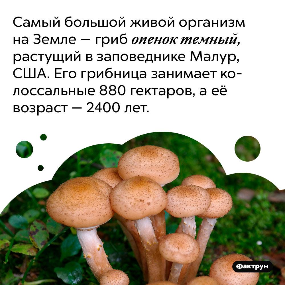 Самый большой живой организм на Земле — гриб опенок темный, растущий в заповеднике Малур, США. Его грибница занимает колоссальные 880 гектаров, а её возраст — 2400 лет.
