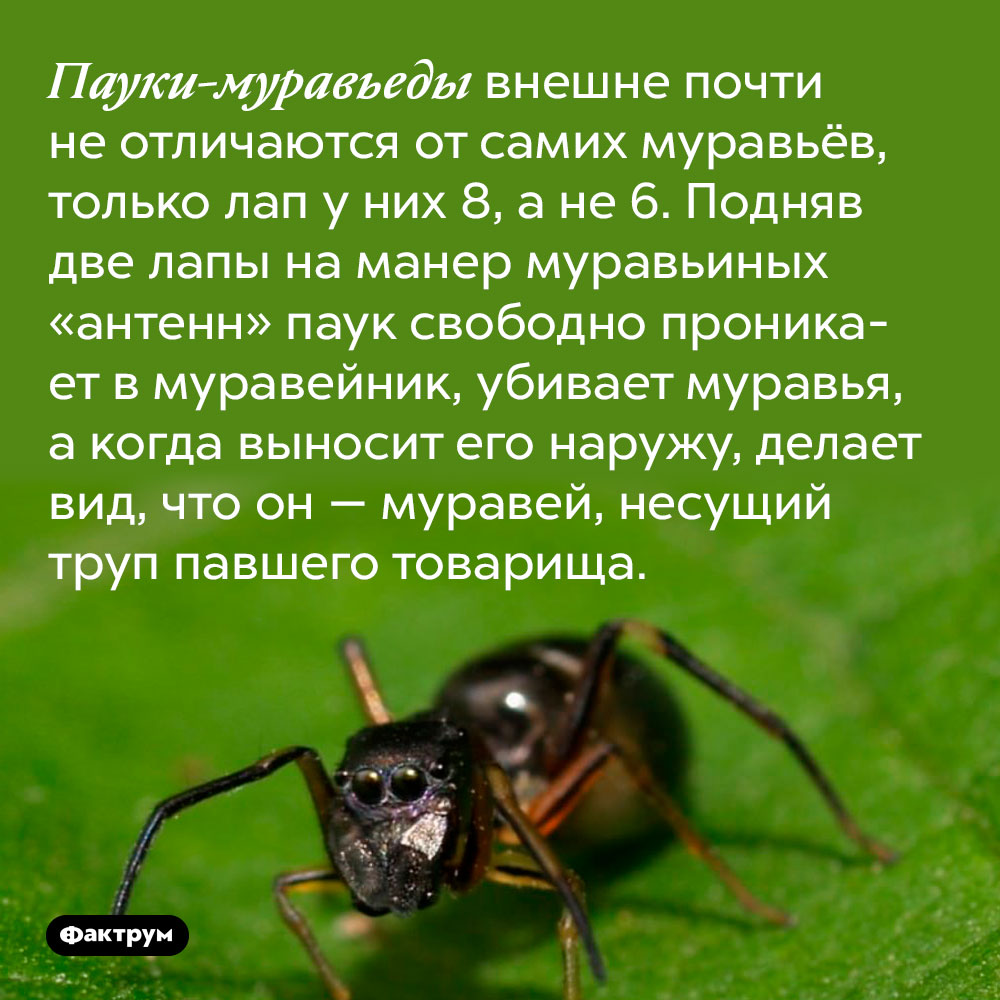 Пауки-муравьеды внешне почти не отличаются от самих муравьёв, только лап у них 8, а не 6. Подняв две лапы на манер муравьиных «антенн» паук свободно проникает в муравейник, убивает муравья, а когда выносит его наружу, делает вид, что он — муравей, несущий труп павшего товарища.
