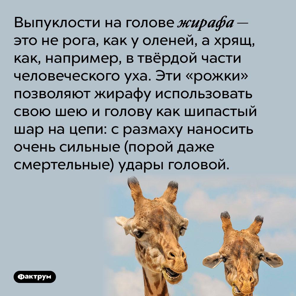 Выпуклости на голове жирафа — это не рога, как у оленей, а хрящ, как, например, в твёрдой части человеческого уха. Эти «рожки» позволяют жирафу использовать свою шею и голову как шипастый шар на цепи: с размаху наносить очень сильные (порой даже смертельные) удары головой.