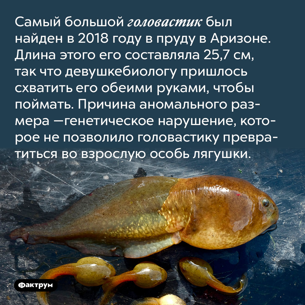Самый большой головастик был найден в2018 году впруду в Аризоне. Длина этого его составляла 25,7 см, так что девушке-биологу пришлось схватить его обеими руками, чтобы поймать. Причина аномального размера — генетическое нарушение, которое не позволило головастику превратиться во взрослую особь лягушки.