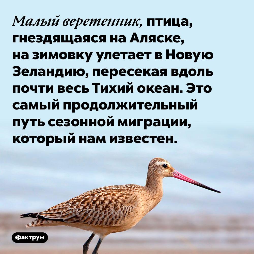 Малый веретенник, птица, гнездящаяся на Аляске, на зимовку улетает в Новую Зеландию, пересекая вдоль почти весь Тихий океан. Это самый продолжительный путь сезонной миграции, который нам известен.