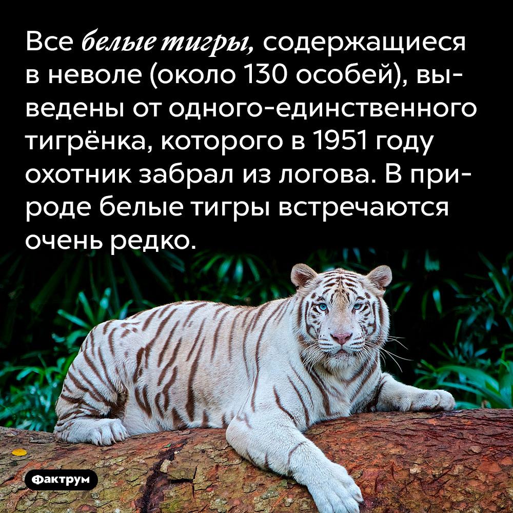 Все белые тигры, содержащиеся в неволе (около 130 особей), выведены от одного-единственного тигрёнка, которого в 1951 году охотник забрал из логова. В природе белые тигры встречаются очень редко.