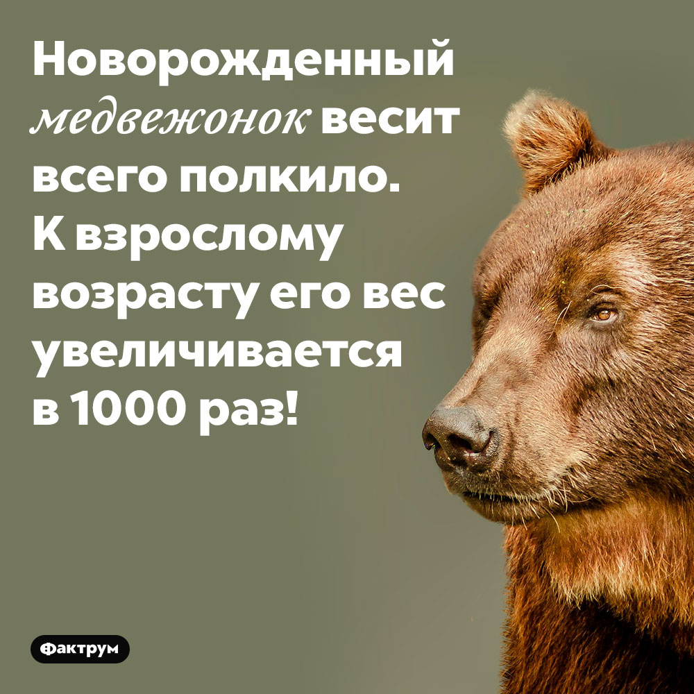 Новорождённый медвежонок весит всего полкило. К взрослому возрасту его вес увеличивается в 1000 раз.
