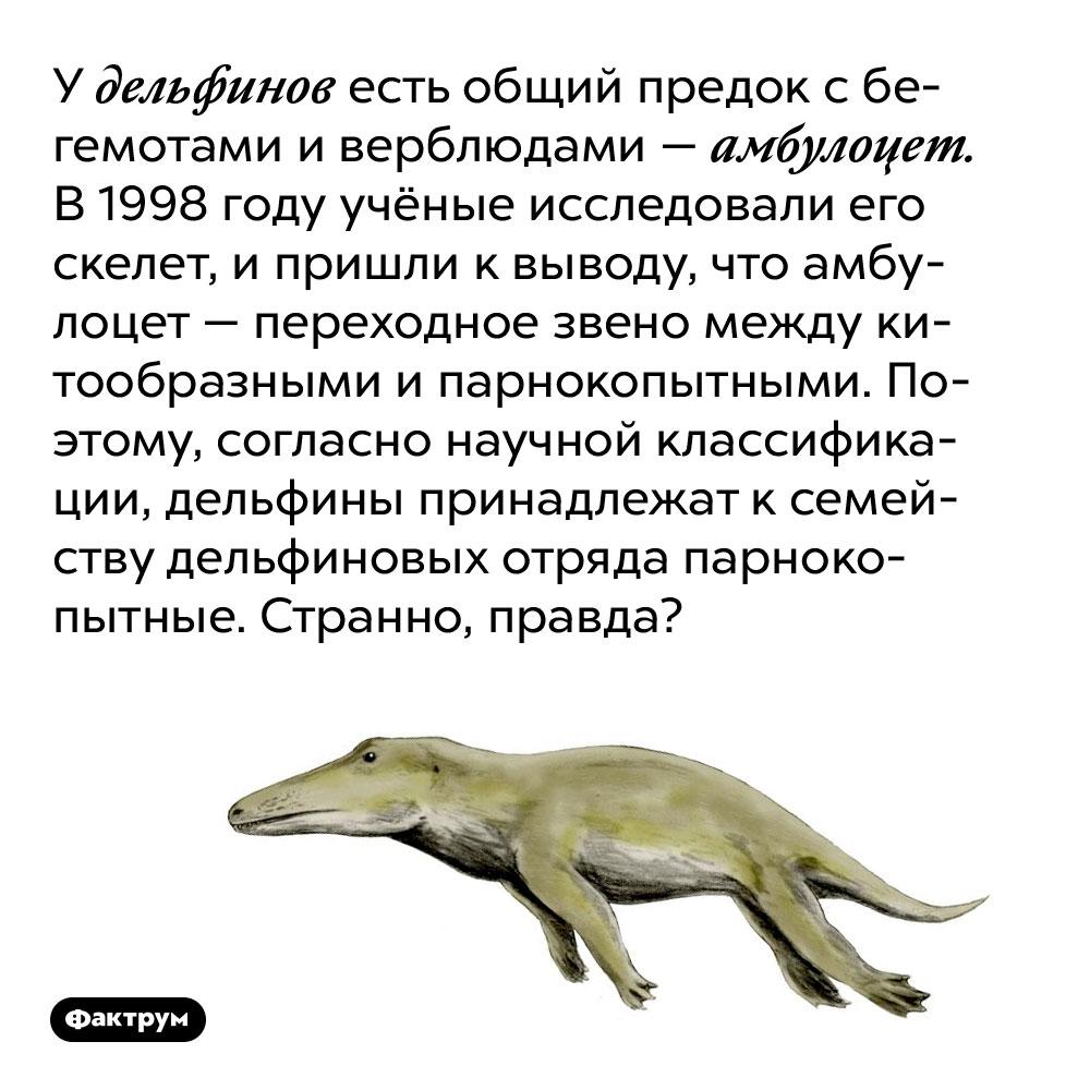У дельфинов есть общий предок с бегемотами и верблюдами — амбулоцет. В 1998 году учёные исследовали его скелет, и пришли к выводу, что амбулоцет — переходное звено между китообразными и парнокопытными. Поэтому, согласно научной классификации, дельфины принадлежат к семейству дельфиновых отряда парнокопытные. Странно, правда?