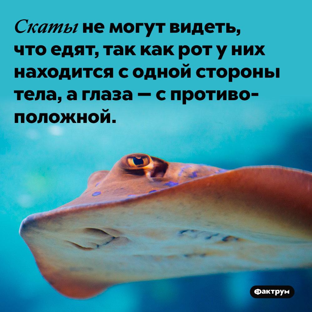 Скаты не могут видеть, что едят, так как рот у них находится с одной стороны тела, а глаза — с противоположной.