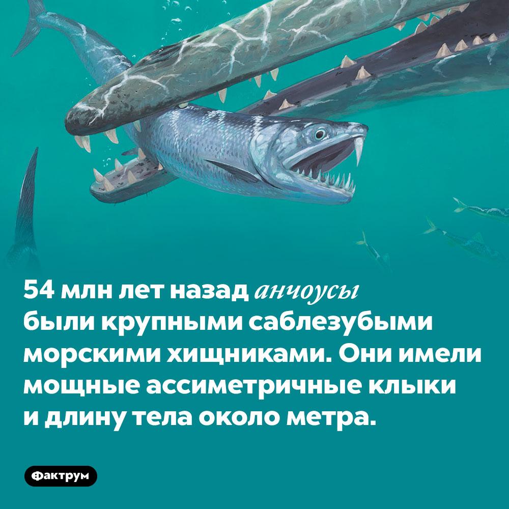 54 млн лет назад анчоусы были крупными саблезубыми морскими хищниками. Они имели мощные ассиметричные клыки и длину тела около метра.