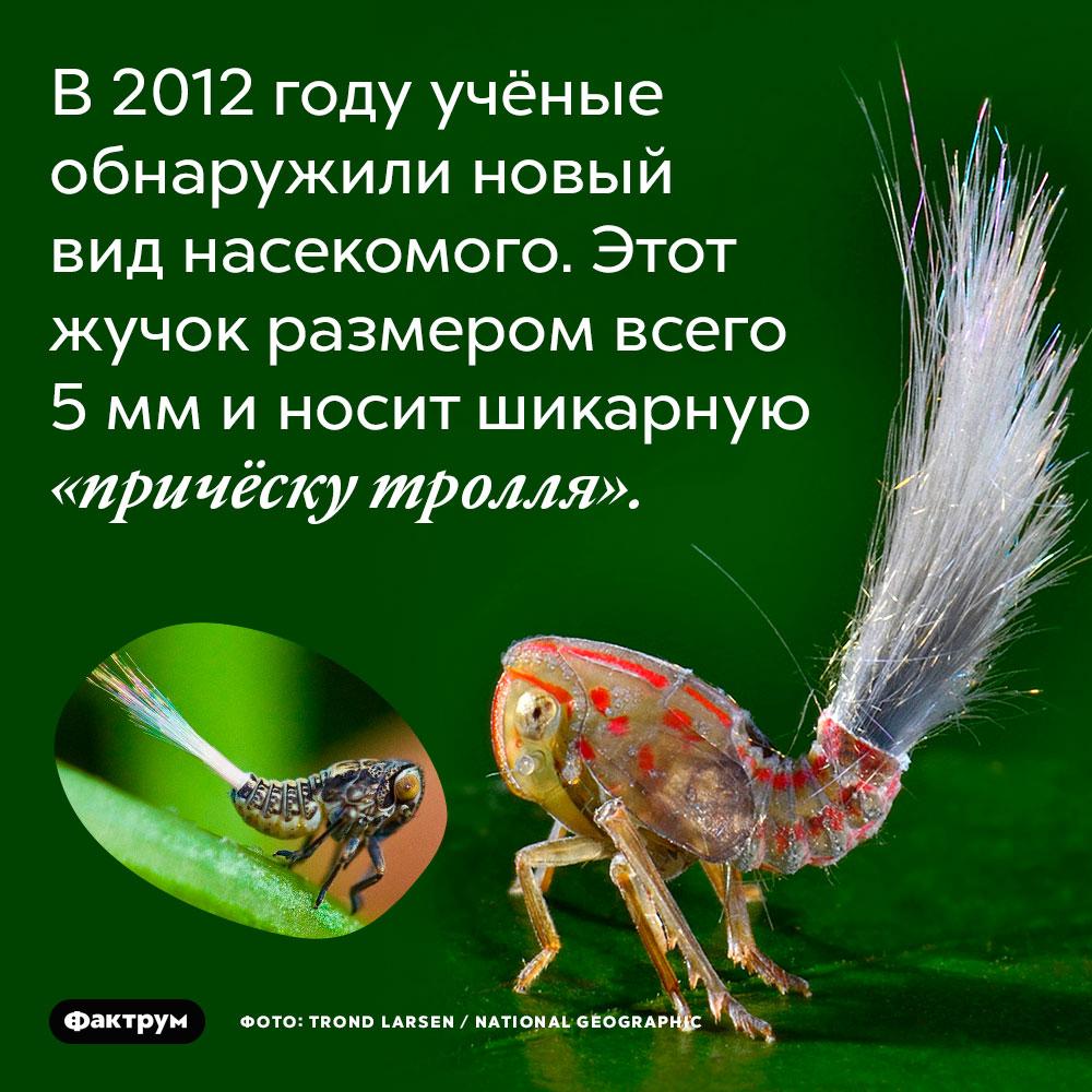 В 2012 году учёные обнаружили новый вид насекомого. Этот жучок размером всего 5 мм и носит шикарную «причёску тролля».