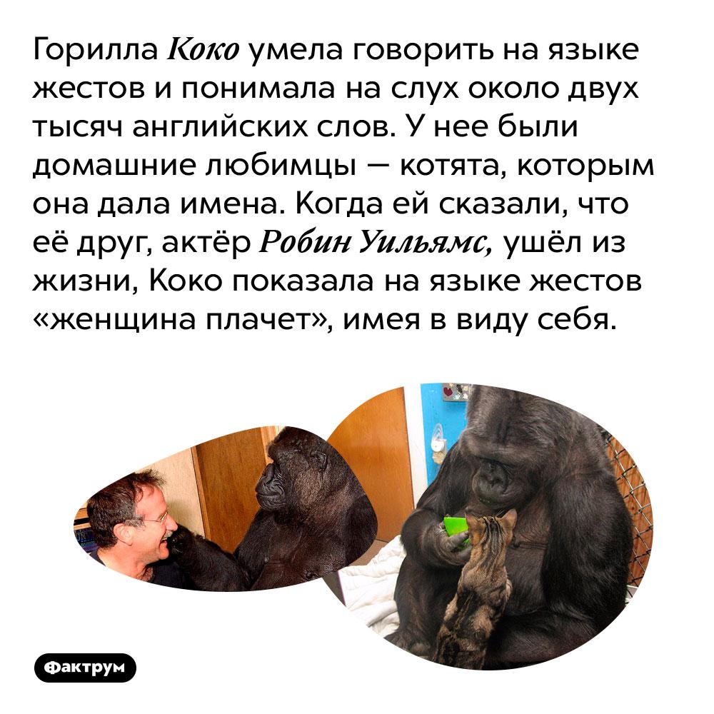 Горилла Коко умела говорить на языке жестов и понимала на слух около двух тысяч английских слов. У нее были домашние любимцы — котята, которым она дала имена. Когда ей сказали, что её друг, актёр Робин Уильямс, ушёл из жизни, Коко показала на языке жестов «женщина плачет», имея в виду себя.