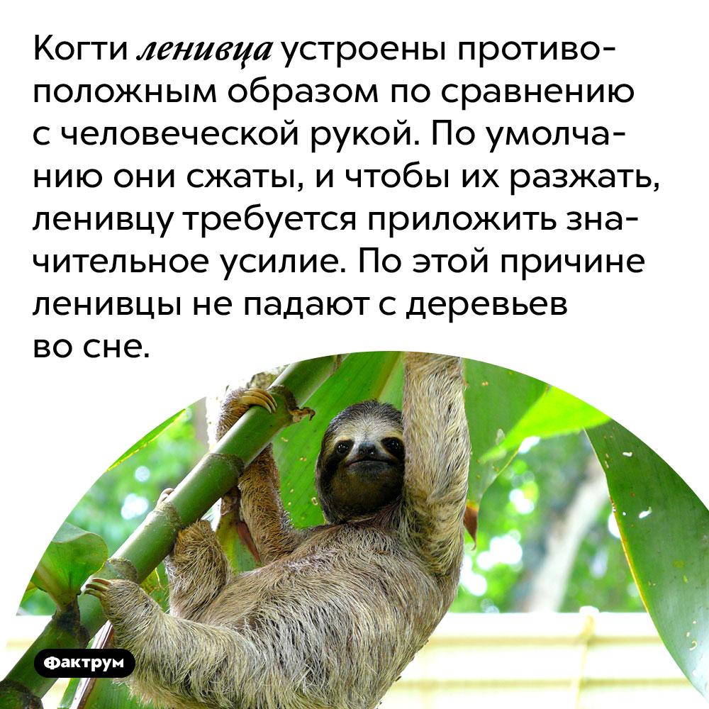 Когти ленивца устроены противоположным образом по сравнению с человеческой рукой. По умолчанию они сжаты, и чтобы их разжать, ленивцу требуется приложить значительное усилие. По этой причине ленивцы не падают с деревьев во сне.