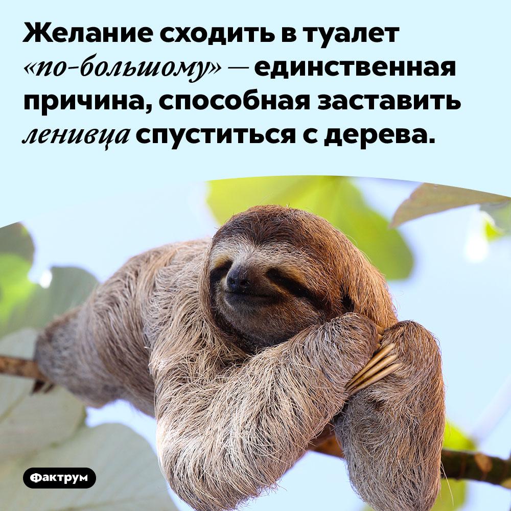 Желание сходить в туалет «по-большому» — единственная причина, способная заставить ленивца спуститься с дерева.