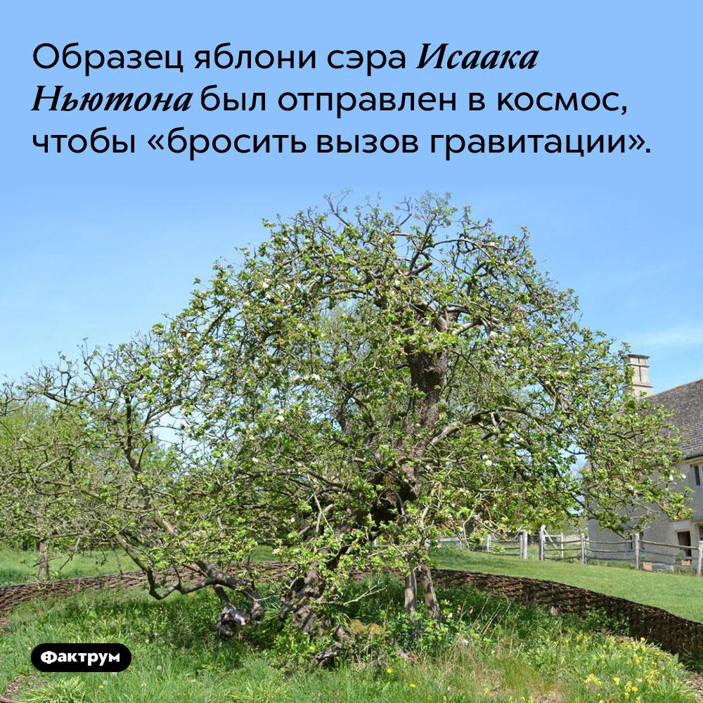 Образец яблони сэра Исаака Ньютона был отправлен в космос, чтобы «бросить вызов гравитации».