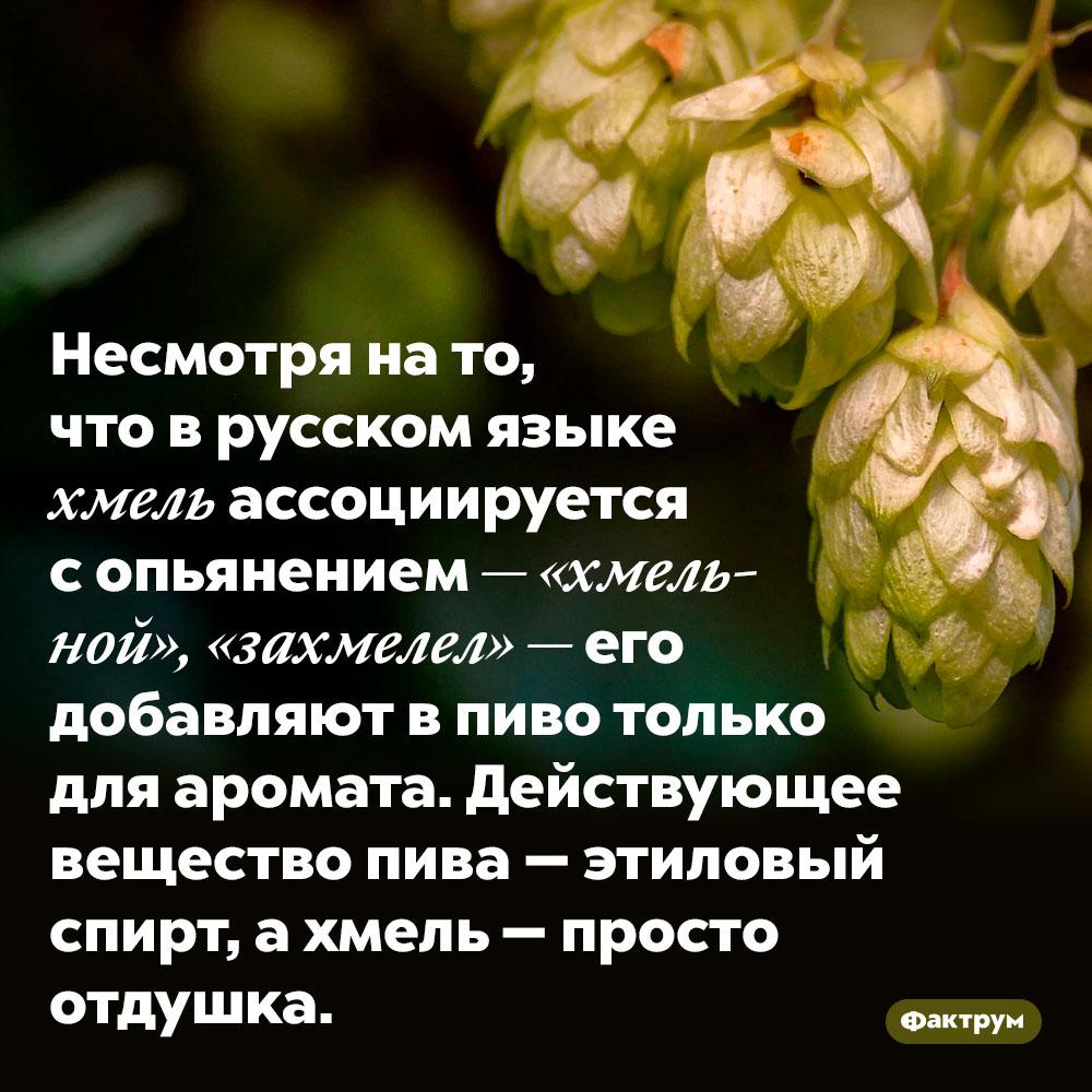 Несмотря на то, что в русском языке хмель ассоциируется с опьянением — «хмельной», «захмелел» — его добавляют в пиво только для аромата. Действующее вещество пива — этиловый спирт, а хмель — просто отдушка.