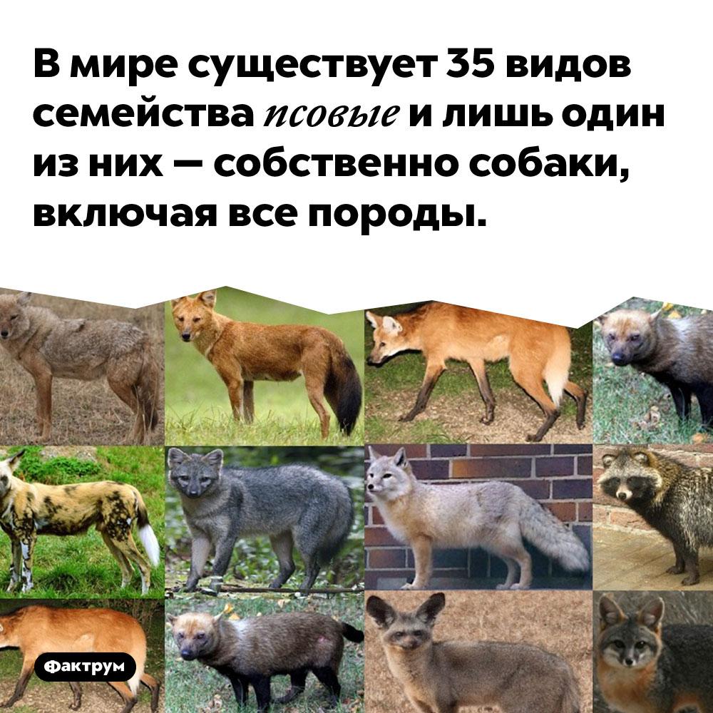 В мире существует 35 видов семейства псовые и лишь один из них — собственно собаки, включая все породы.