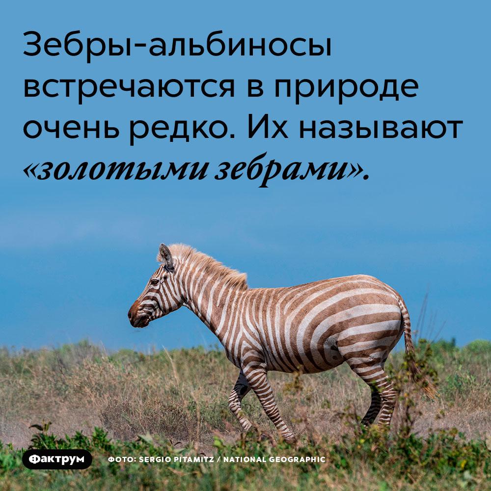 Зебры-альбиносы встречаются в природе очень редко. Их называют «золотыми зебрами».