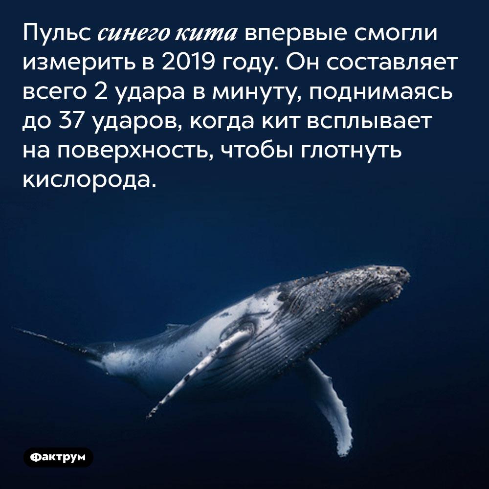 Пульс синего кита впервые смогли измерить в 2019 году. Он составляет всего 2 удара в минуту, поднимаясь до 37 ударов, когда кит всплывает на поверхность, чтобы глотнуть кислорода.