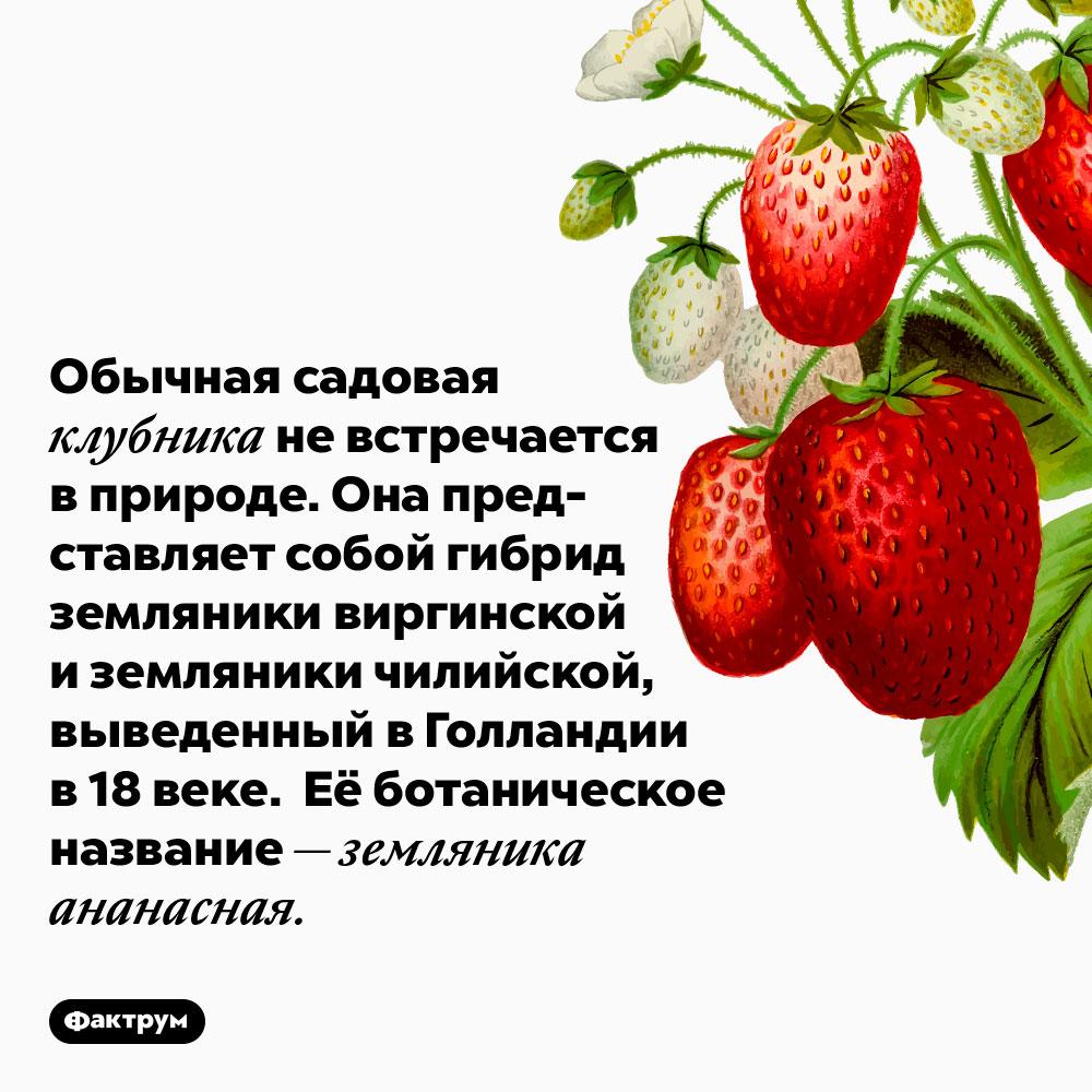 Обычная садовая клубника не встречается в природе. Она представляет собой гибрид земляники виргинской и земляники чилийской, выведенный в Голландии в 18 веке. Её ботаническое название — земляника ананасная.