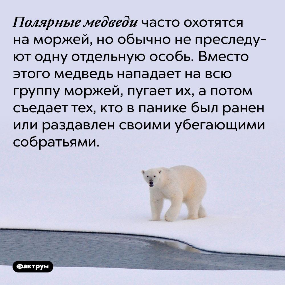 Полярные медведи часто охотятся на моржей, но обычно не преследуют одну отдельную особь. Вместо этого медведь нападает на всю группу моржей, пугает их, а потом съедает тех, кто в панике был ранен или раздавлен своими убегающими собратьями.