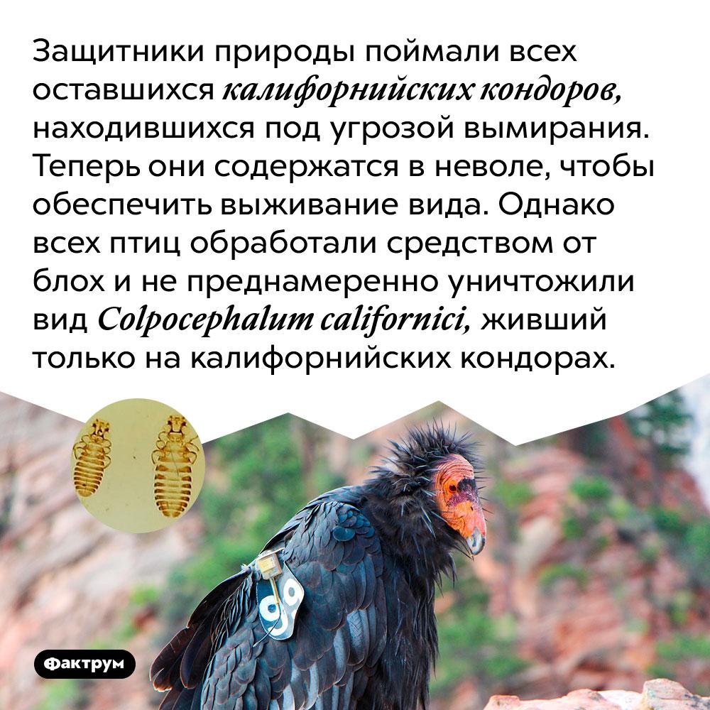 Защитники природы поймали всех оставшихся калифорнийских кондоров, находившихся под угрозой вымирания. Теперь они содержатся в неволе, чтобы обеспечить выживание вида. Однако всех птиц обработали средством от блох и непреднамеренно уничтожили вид Colpocephalum californici, живший только на калифорнийских кондорах.