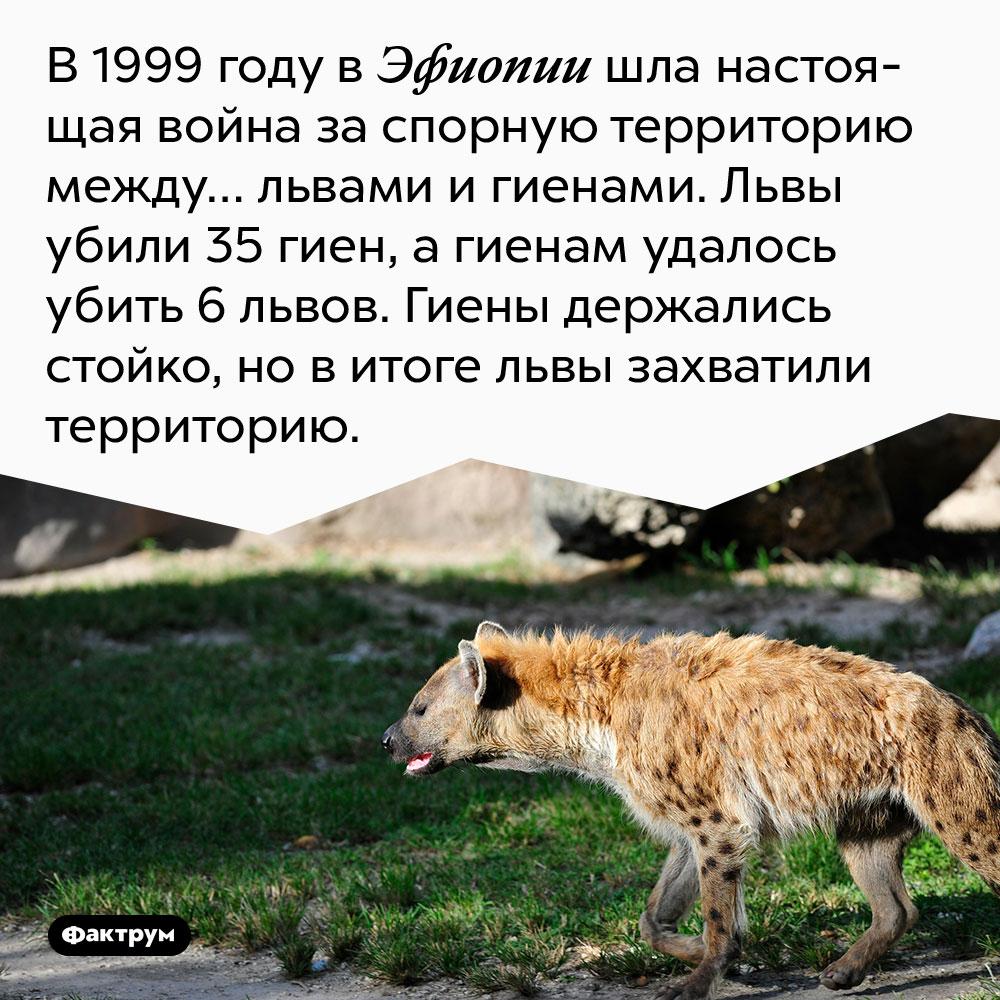 В 1999 году в Эфиопии шла настоящая война за спорную территорию между… львами и гиенами. Львы убили 35 гиен, а гиенам удалось убить 6 львов. Гиены держались стойко, но в итоге львы захватили территорию.