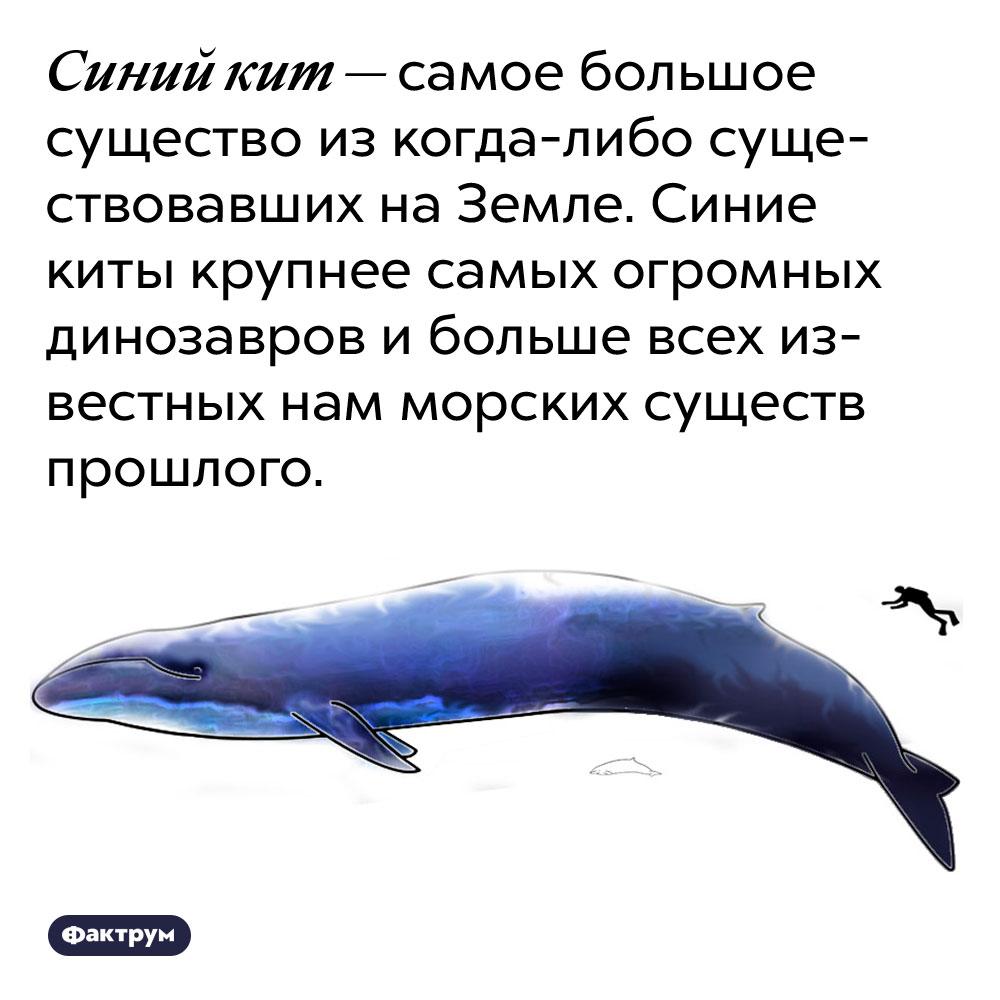Синий кит — самое большое существо из когда-либо существовавших на Земле. Синие киты крупнее самых огромных динозавров и больше всех известных нам морских существ прошлого.