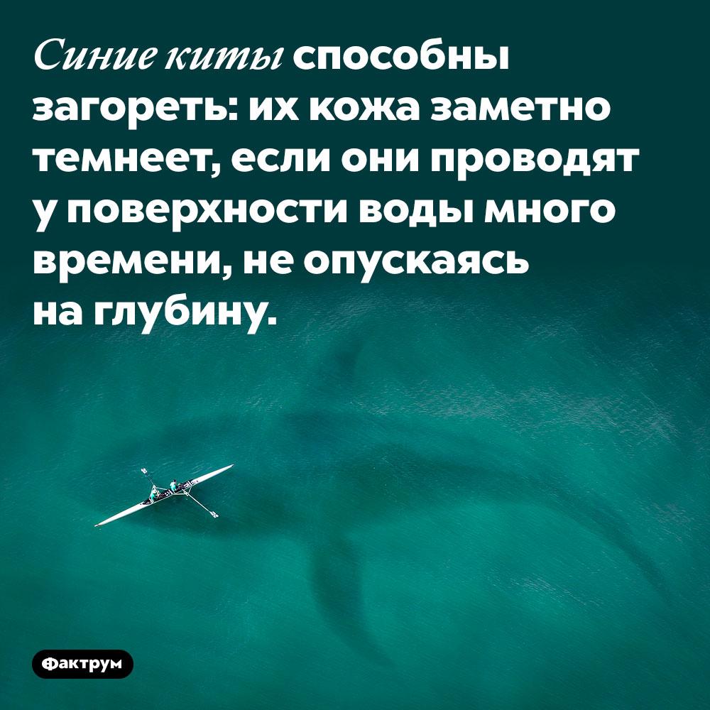 Синие киты способны загореть: их кожа заметно темнеет, если они проводят у поверхности воды много времени, не опускаясь на глубину.