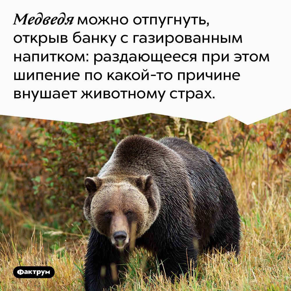 Медведя можно отпугнуть, открыв банку с газированным напитком: раздающееся при этом шипение по какой-то причине внушает животному страх.