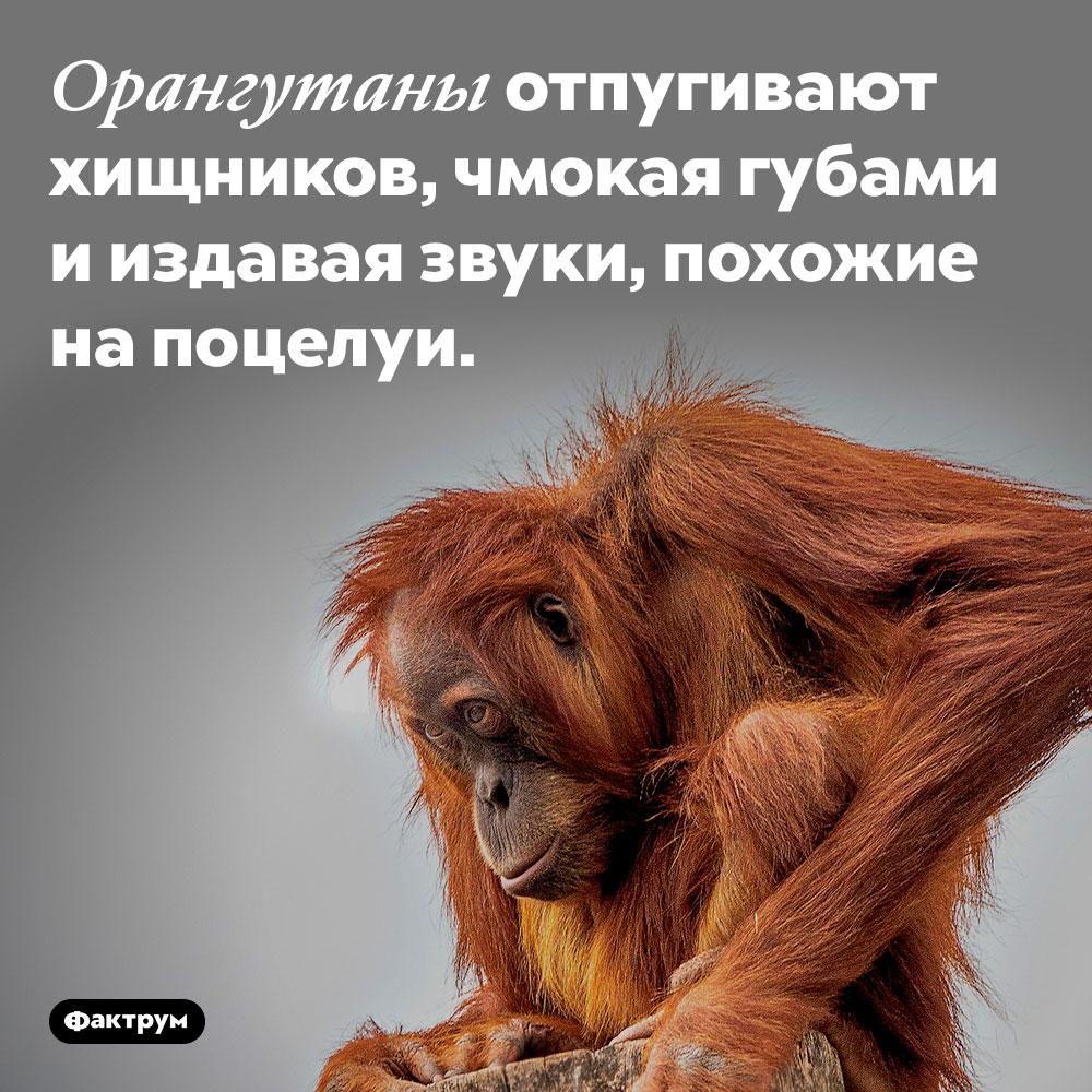 Орангутаны отпугивают хищников, чмокая губами и издавая звуки, похожие на поцелуи.