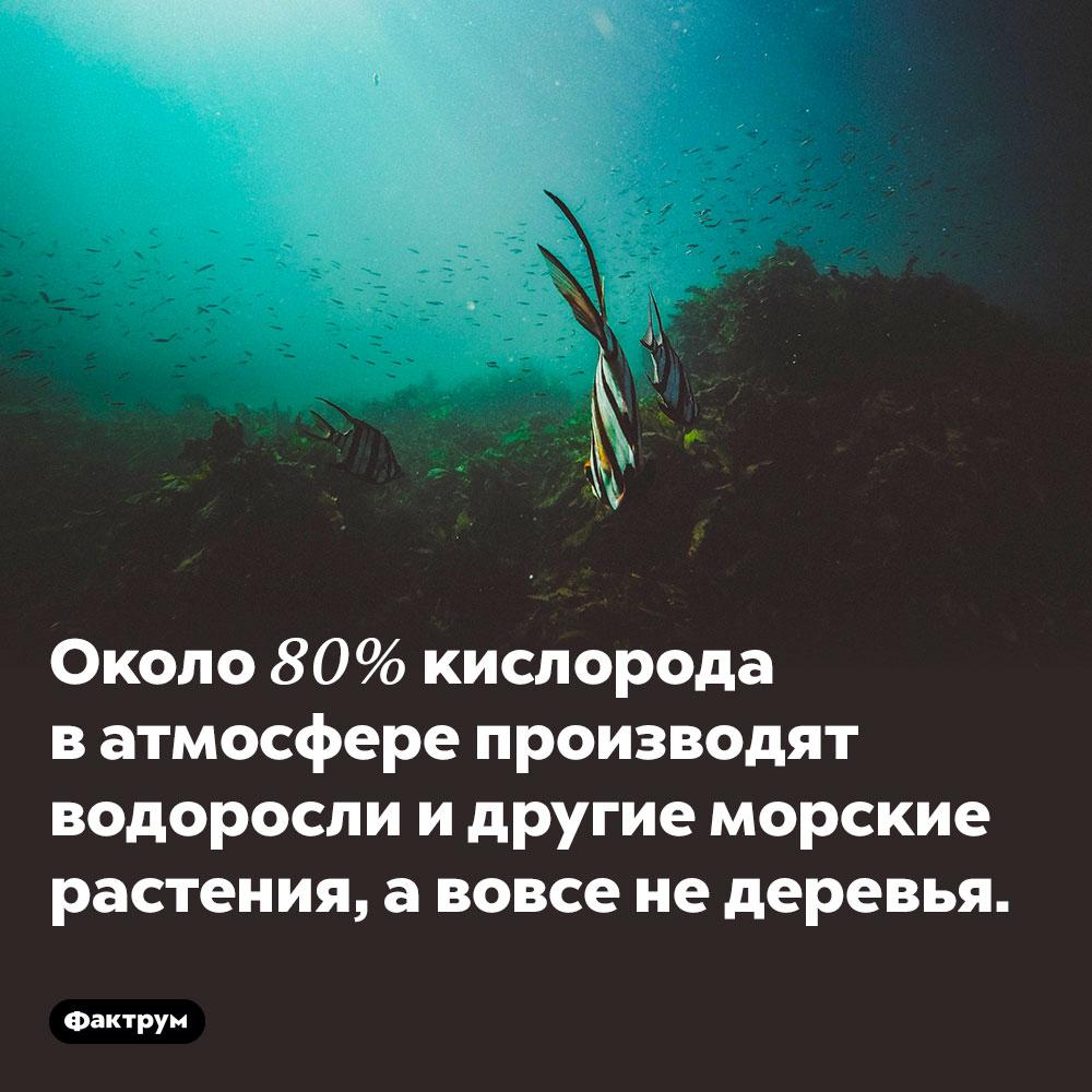 Около 80% кислорода в атмосфере производят водоросли и другие морские растения, а вовсе не деревья.