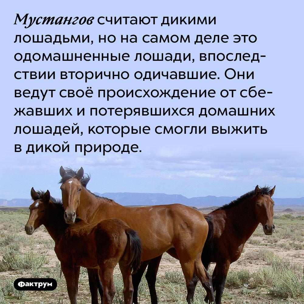 Мустангов считают дикими лошадьми, но на самом деле это одомашненные лошади, впоследствии вторично одичавшие. Они ведут своё происхождение от сбежавших и потерявшихся домашних лошадей, которые смогли выжить в дикой природе.
