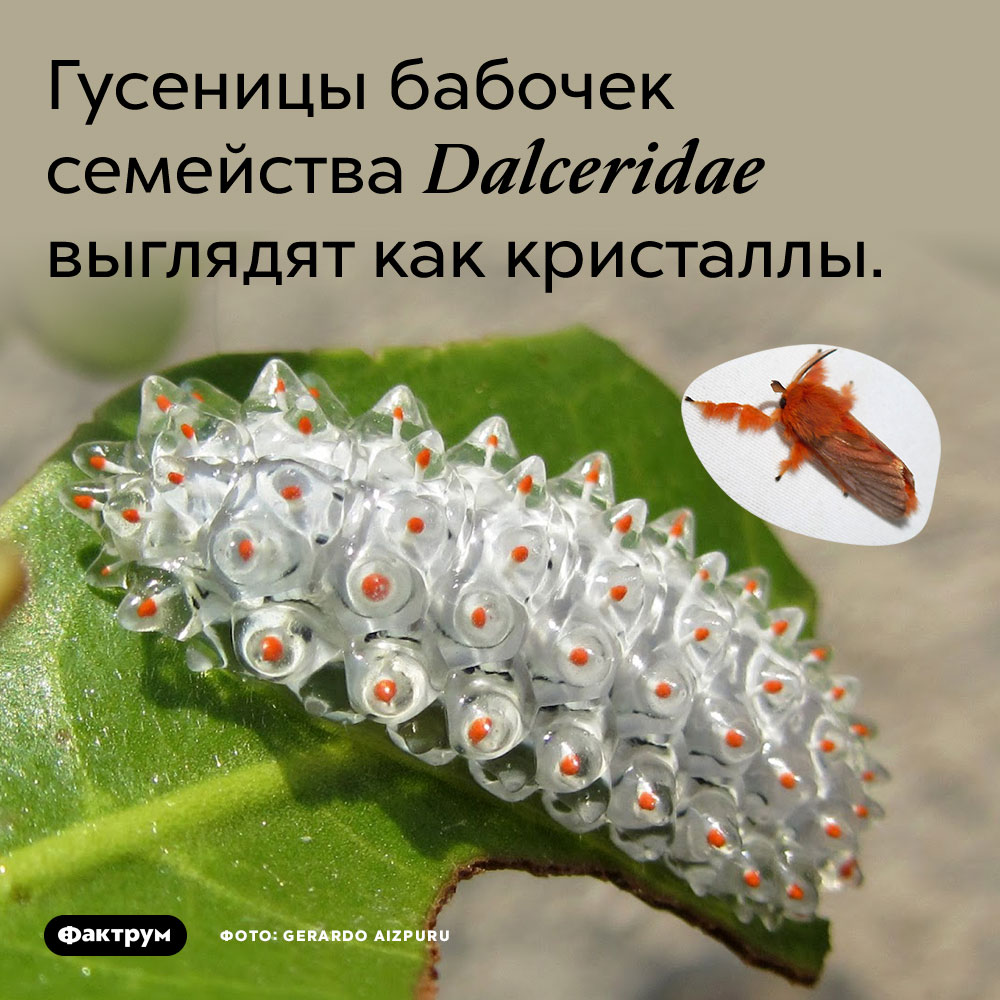 Гусеницы бабочек семейства Dalceridae выглядят как кристаллы.