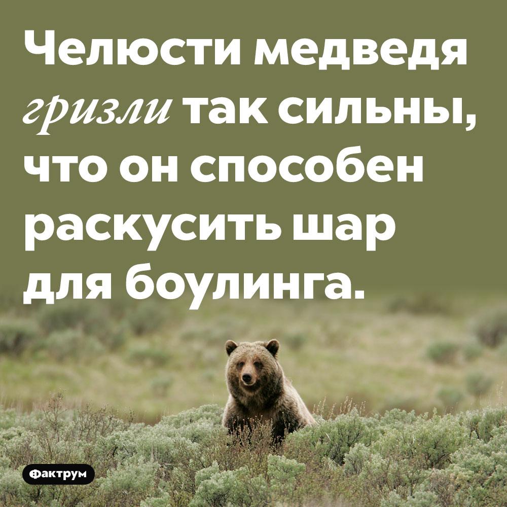 Челюсти медведя гризли так сильны, что он способен раскусить шар для боулинга.