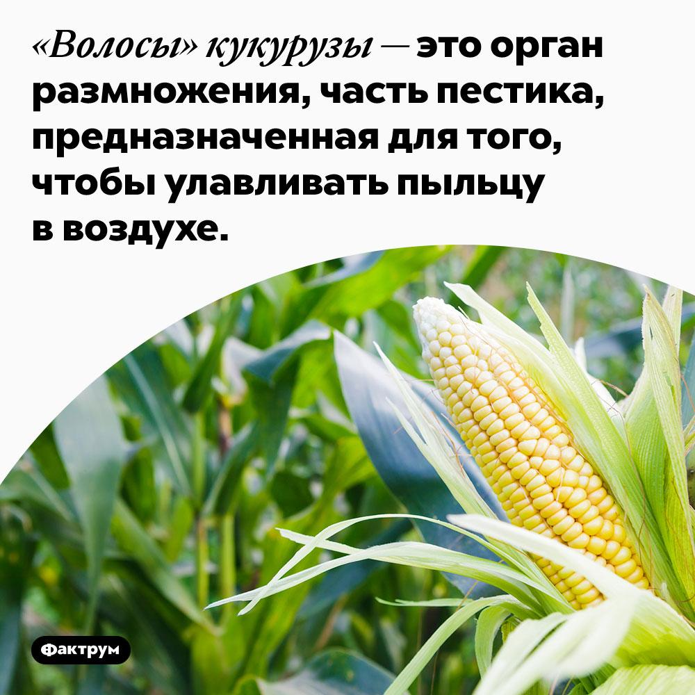 «Волосы» кукурузы — это орган размножения, часть пестика, предназначенная для того, чтобы улавливать пыльцу в воздухе.