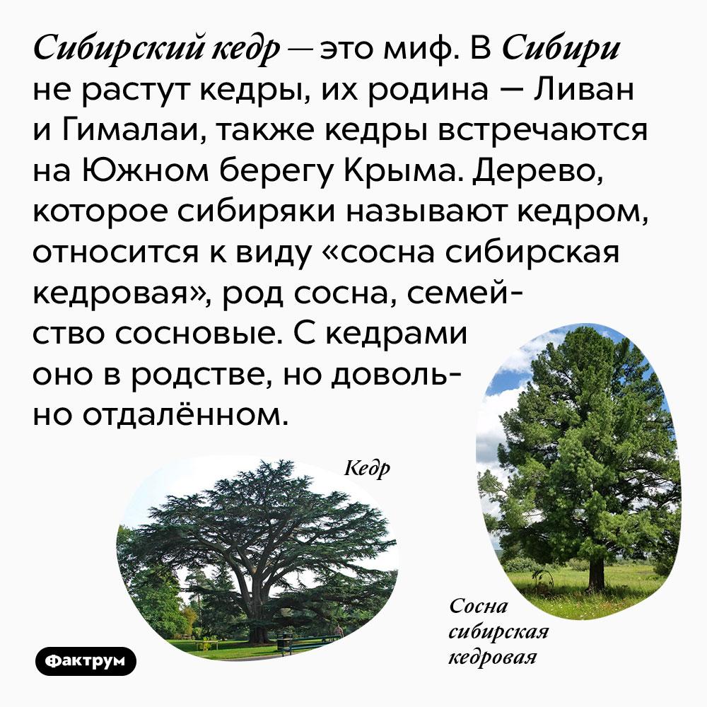 Сибирский кедр — это миф. В Сибири не растут кедры, их родина — Ливан и Гималаи, также кедры встречаются на Южном берегу Крыма. Дерево, которое сибиряки называют кедром, относится к виду «сосна сибирская кедровая», род сосна, семейство сосновые. С кедрами оно в родстве, но довольно отдалённом.