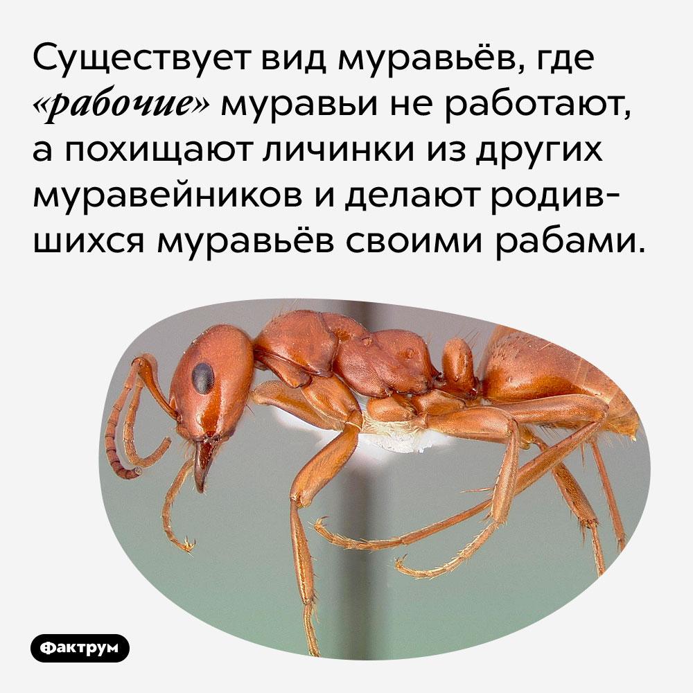 Существует вид муравьёв, где «рабочие» муравьи не работают, а похищают личинки из других муравейников и делают родившихся муравьёв своими рабами.