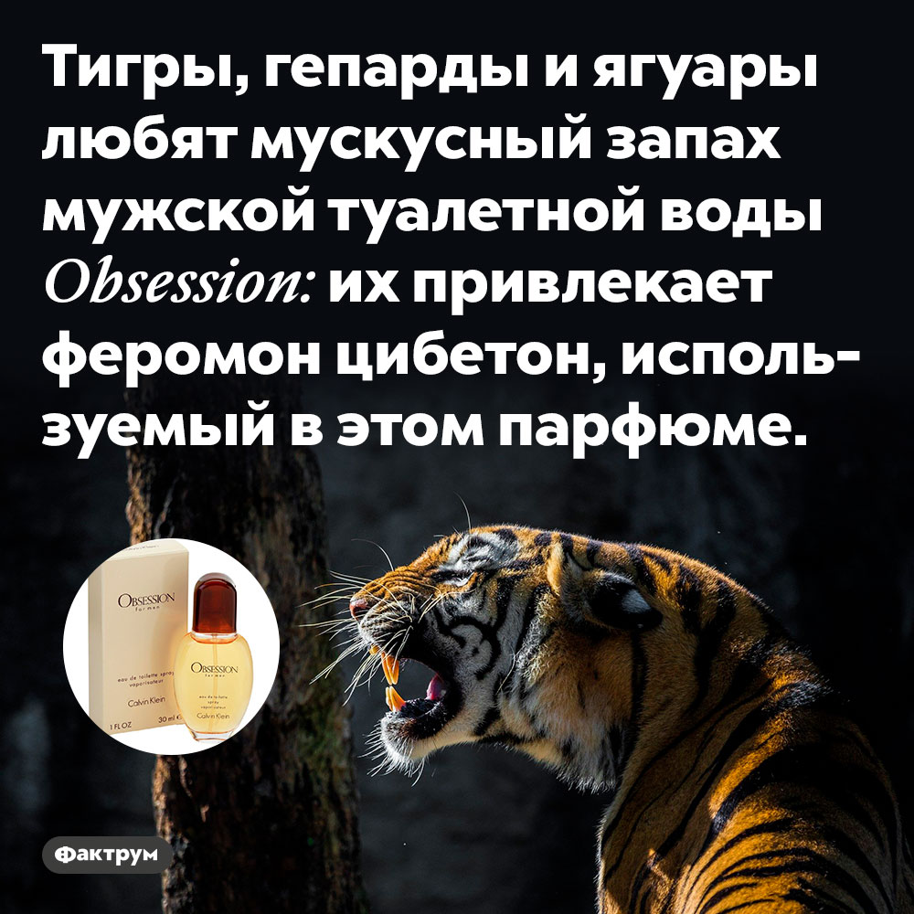 Тигры, гепарды и ягуары любят мускусный запах мужской туалетной воды Obsession.