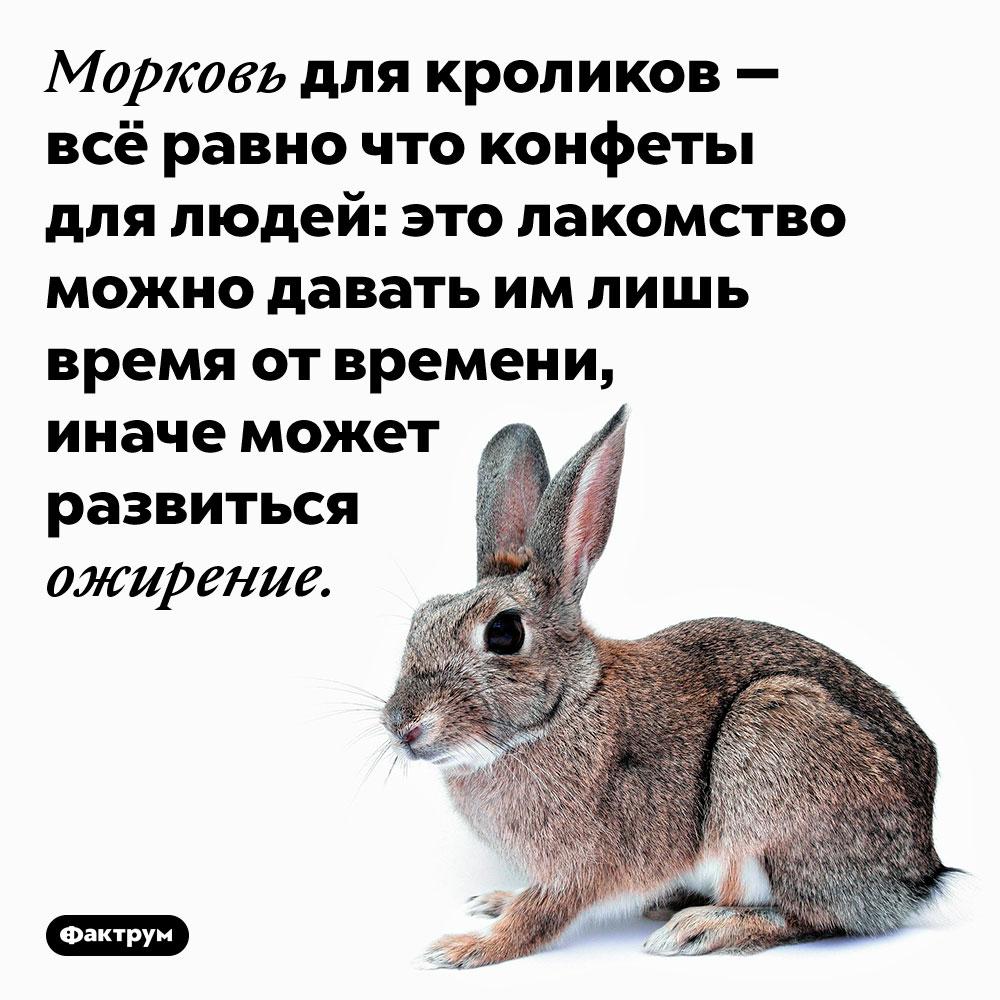Морковь для кроликов — всё равно что конфеты для людей. Это лакомство можно давать им лишь время от времени, иначе может развиться ожирение.