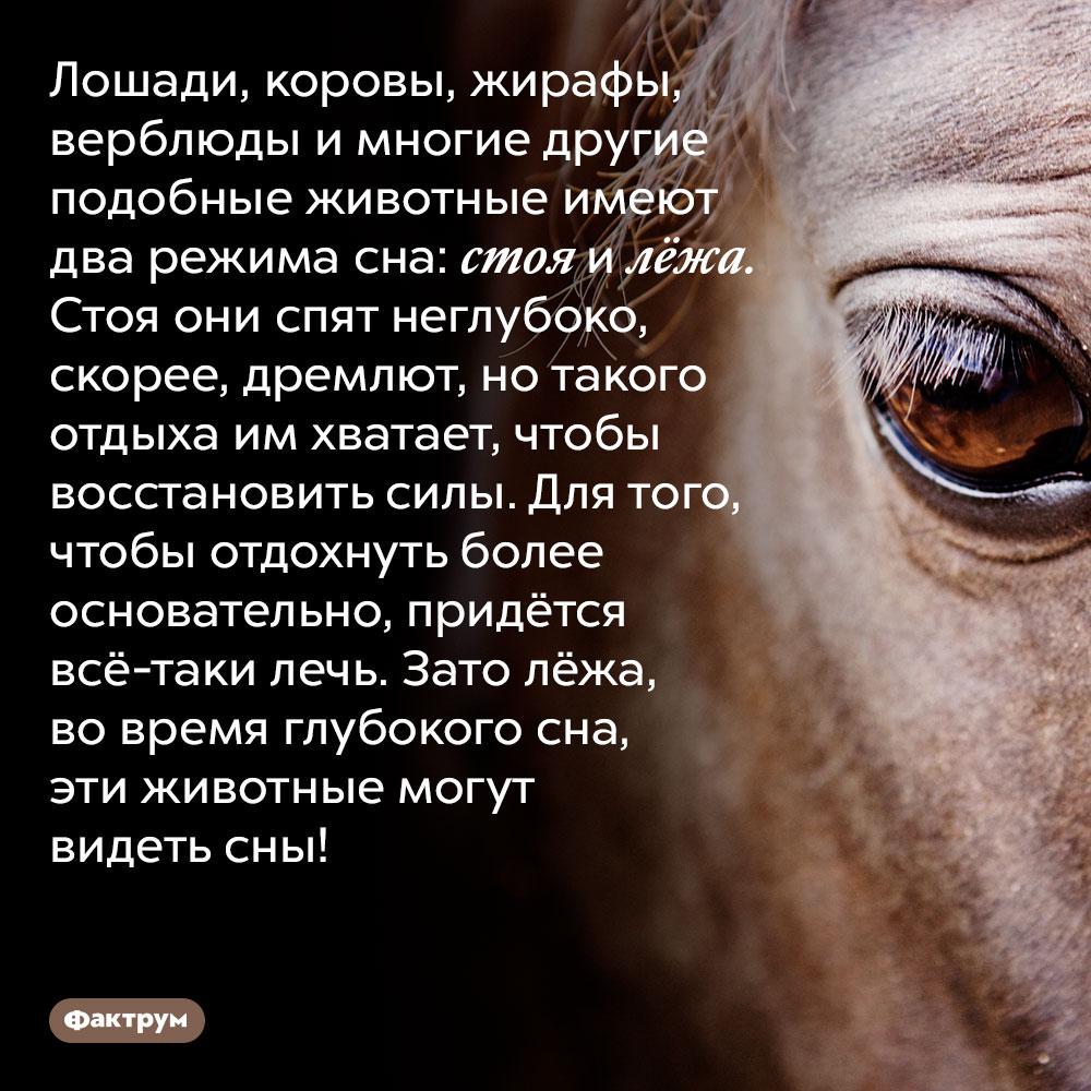 Лошади, коровы, жирафы, верблюды и многие другие подобные животные имеют два режима сна: стоя и лёжа. Стоя они спят неглубоко, скорее, дремлют, но такого отдыха им хватает, чтобы восстановить силы. Для того, чтобы отдохнуть более основательно, придётся всё-таки лечь. Зато лёжа, во время глубокого сна, эти животные могут видеть сны!